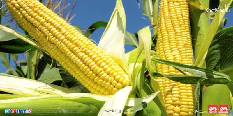 How To Fertilize Corn