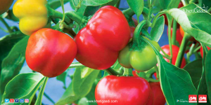 Khetigaadi Farming: Best Ways You Can Better Market Sweet Peppers