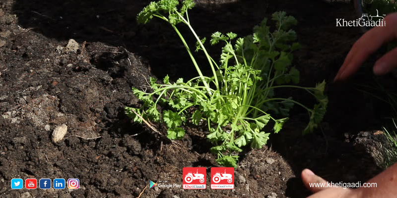 Parsley: Not Just for Salad it is The Best Crops For Vertical Farming