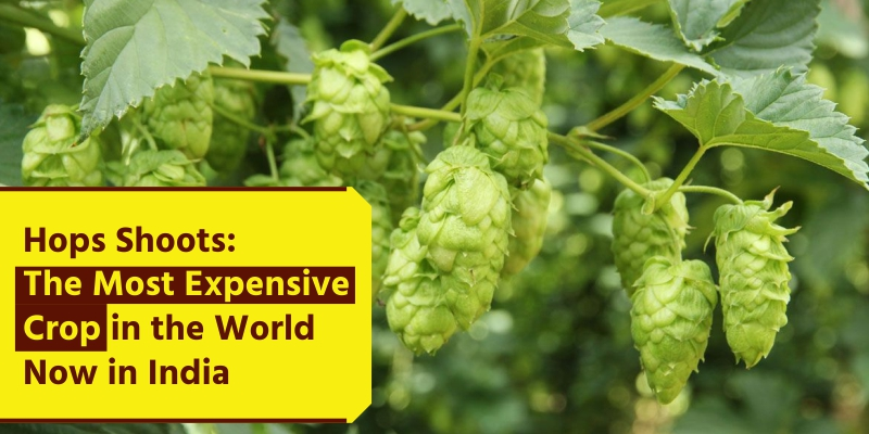 Hops Shoots: The Most Expensive Crop in World Now in India