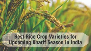 Best Rice Crop Varieties for Upcoming Kharif Season in India: Features, Productivity and Suitable Area for Cultivation.