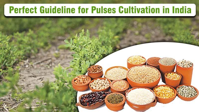 Perfect Guideline for Pulses Cultivation in India.