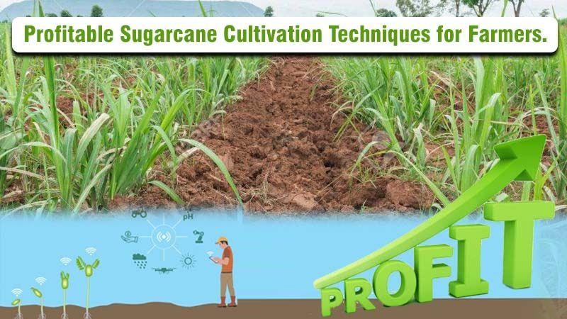 Profitable Sugarcane Cultivation Techniques for Farmers