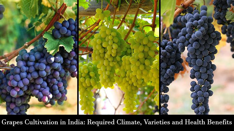 Grapes Cultivation in India: Required Climate, Varieties and Health Benefits