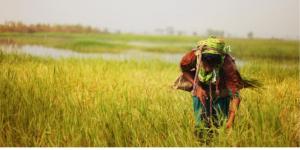 रबी फसलों का ४४ % क्षेत्र अब तक काटा गया है