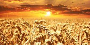 फसलों का क्षेत्रफल गर्मियों में 21.58 प्रतिशत बढ़ा !