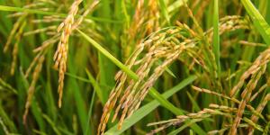 सरकार ने खरीफ फसलों के लिए बढ़ाया एमएसपी