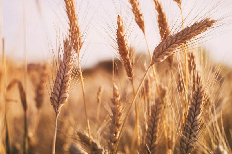 सरकार द्वारा इस साल गेहूं किसानों को 42 प्रतिशत अधिक धनराशि वितरित की जाएगी